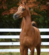 ROL Red Roses, Mare, Arabian Horse