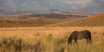 Our beautiful Blue stallion grazes quietly on the abundant vegetation on the Fish Springs range.  Ph