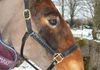 My own Dolly modelling her gorgeous Tack'n'Togs leather head collar.