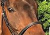 Lorraine Reynold's  gunner in his stitched caveson bridle