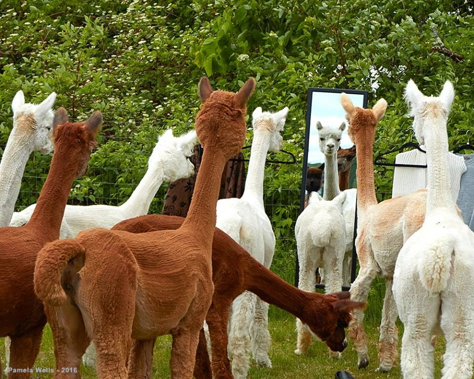 Choose from three different images featuring our alpaca farm.