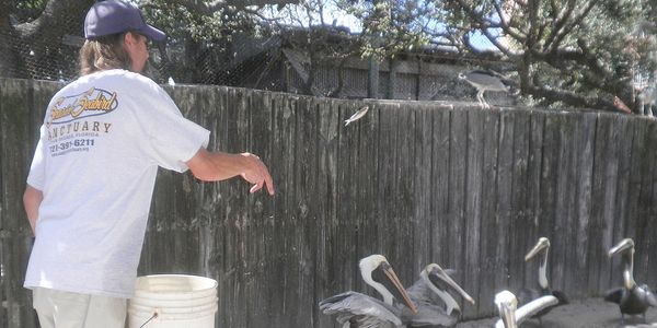 Pelican hand-feeding presentation at the Seaside Seabird Sanctuary in Indian Shores, Florida.