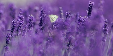 lavender field and white butterfly