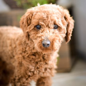 Golden Valley Puppies- Mini Poodle