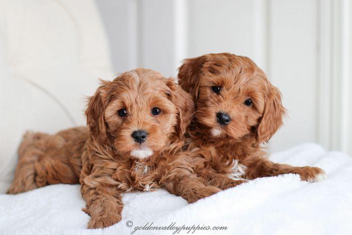 Cavapoo Puppies for Sale - Golden Valley Puppies, Cavapoo Puppies