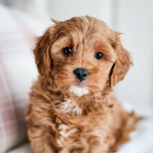 Cavapoo Puppies For Sale Golden Valley Puppies Cavapoo Puppies