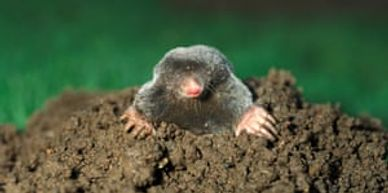 mole popping out a hole