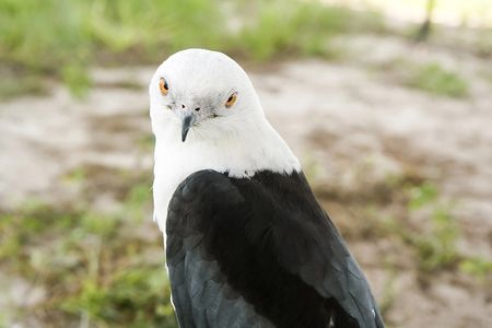 Scooter, Swallow-Tailed Kite, Wildlife Education, Falconry, Raptor Rehabilitation