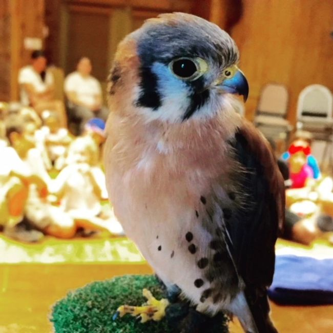 American kestrels school programs wildlife nature