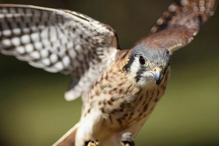 Moira, american kestrel, Wildlife Education, Falconry, Raptor Rehabilitation