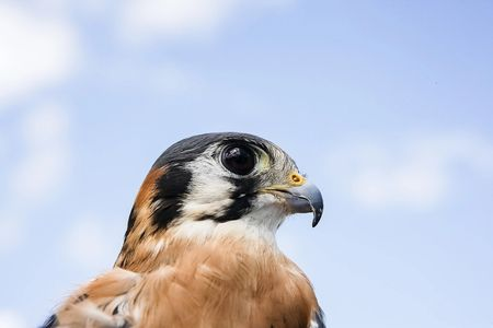 Falcor, american kestrel, Wildlife Education, Falconry, Raptor Rehabilitation