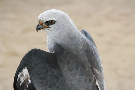 Pepito, Mississippi Kite, Wildlife Education, Falconry, Raptor Rehabilitation
