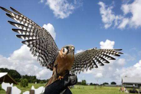 Professor Slinky, american kestrel, Wildlife Education, Falconry, Raptor Rehabilitation