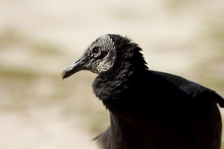 Lavinia, Black Vulture, Wildlife Education, Falconry, Raptor Rehabilitation