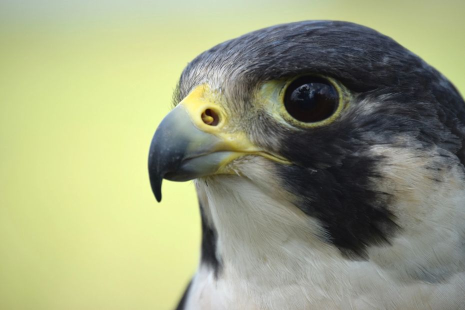 Sparky, peregrine falcon, Wildlife Education, Falconry, Raptor Rehabilitation