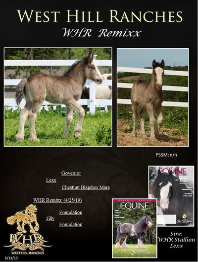 Gypsy Vanner Filly For Sale