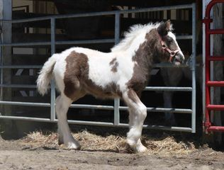 Gypsy Vanner Horses For Sale, Gypsy Horses, West Hill Ranches