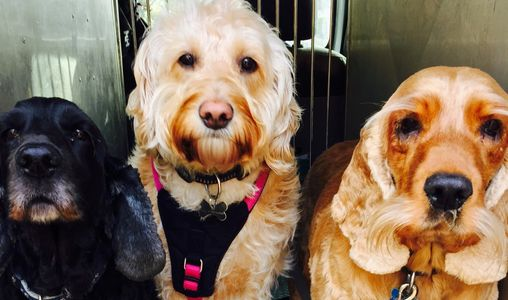 Three Dogs Diva,Strudel and Honey all ready and waiting in the van for their walk in Nonsuch Park
