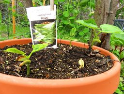 pot of growing green pole beans in garden