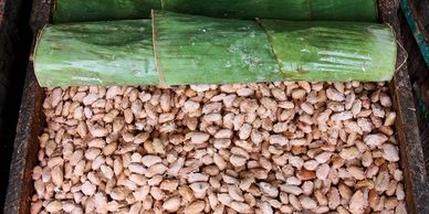 Fermentation of cocoa beans covered in banana leaves inside a wooden box.