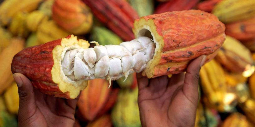 The Cacao Fruit or Pod