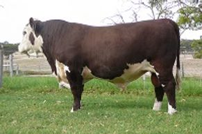 ALLENDALE ANZAC (H175) - Dalkeith Herefords Cassilis NSW