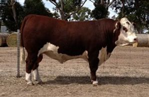 ALLENDALE DISTINGUISHED (H52) - Dalkeith Herefords Cassilis NSW