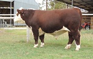 DAYS COLOMBUS (G20) - Dalkeith Herefords Cassilis NSW