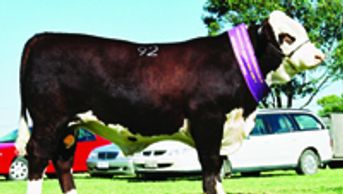 MARKOWEN INTRUDER (Z33) - Dalkeith Herefords Cassilis NSW