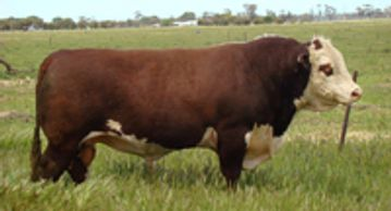MARKOWEN CLASSIC (C49) - Dalkeith Herefords Cassilis NSW