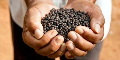 Whole Black Pepper origin Cambodia offered by Brazspice Spices International.