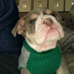 Duke the Mini English Bulldog