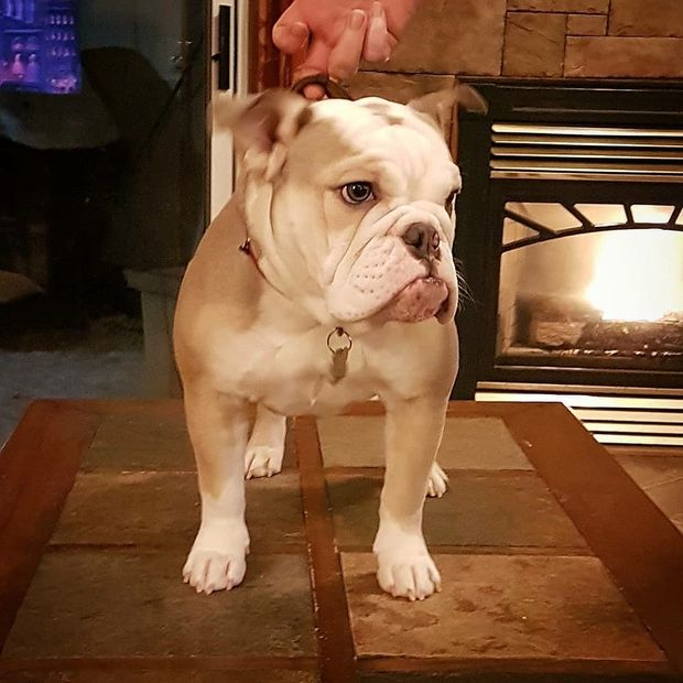 Baylee Girl our Mini English Bulldog