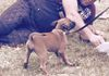 Baby malinois with Ronnie learning protection