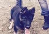 Baby Ollie (Now an estate protection dog in the Bahamas)