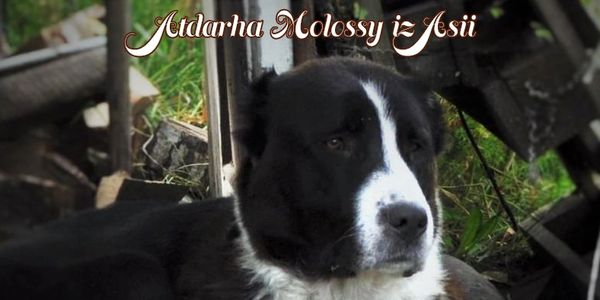 Central Asian Shepherd Rare Guardian Breed Puppies Breeder Canada Ontario Alabai Ovcharka