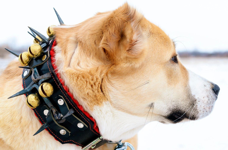 Alabai Dog Canada | Central Asian Shepherd Dog Breeder | Central