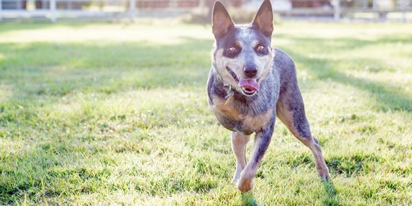 Learn how you can foster a heeler in need