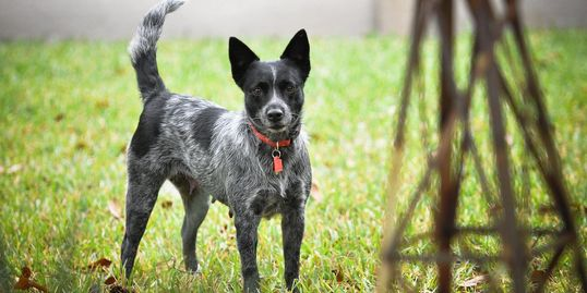 TCDR has so many great heelers waiting for forever homes.