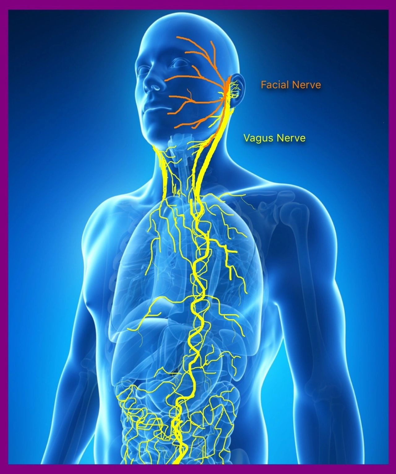 Light Therapy On The Vagus Nerve And The Facial Nerve