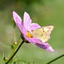 Butterfly on cosmos crafted by Jacqueline Milner, photographer, on a sunny day in a field.