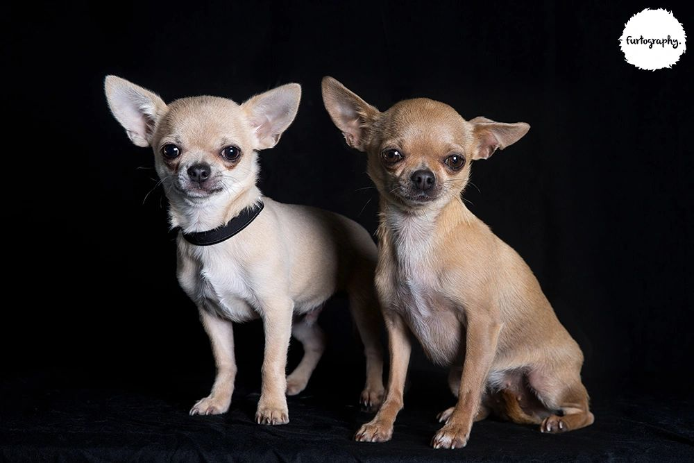 This is the first dam and sire to breed at  MadraChi Chihuahuas.   Dolly and Damascus
