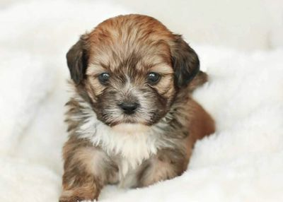 About the Shihpoo, TOY POODLE BREEDER IN IOWA, CAVALIER KING