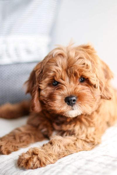 Available Cavapoochon Puppies, TOY POODLE BREEDER IN IOWA, CAVALIER