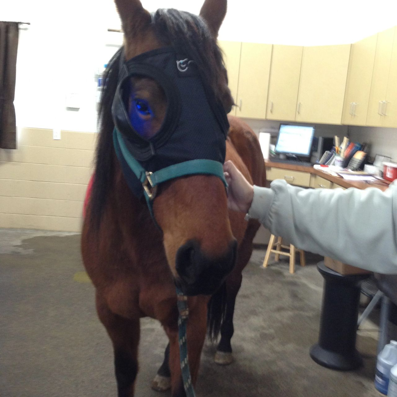 Holly wearing her Equilume light mask. Mares only cycle when the days are long, so this mask with light can be used to get them cycling earlier in the the year.