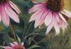 "Cone Flowers. Pastel 22""x22"" Available"