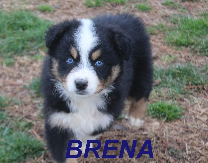 BRENA IS A FEMALE BLACK TRI WITH BLUE EYES  $650  BREEDING RIGHTS EXTRA