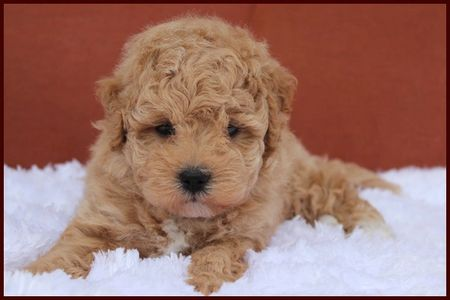 red poochon puppy for sale from Rolling Meadows Puppies