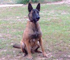 Belgian Malinois out of Friday Night's Bad Tripp and CR Oda