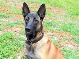CR Nights Quake, Belgian Malinois